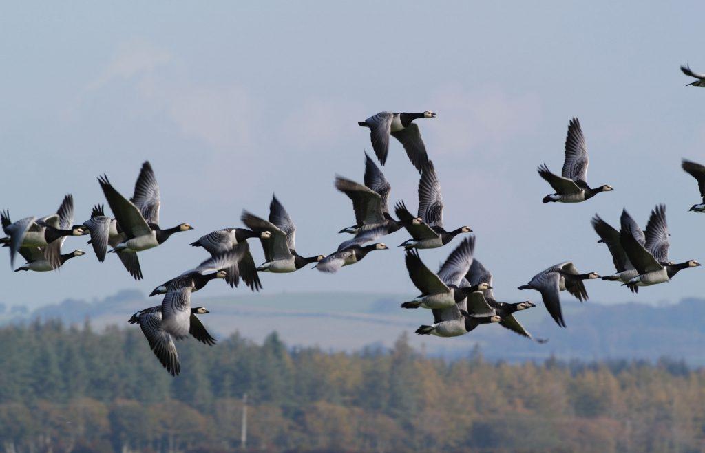 Barnacle-goose-flock